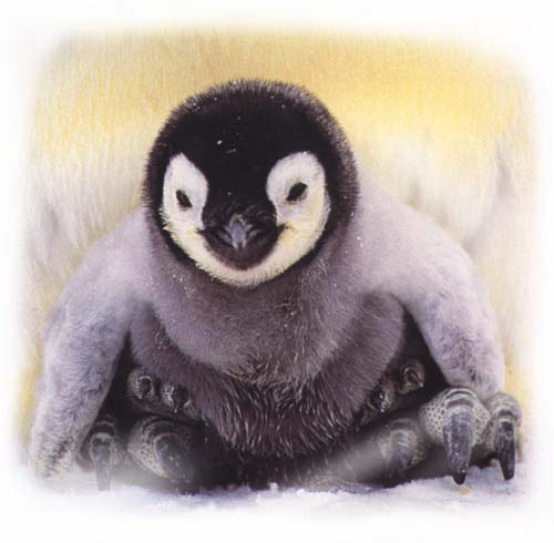 an emperor penguin chick