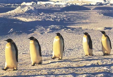 photo of of emperor penguins marching across the Antarctic ice